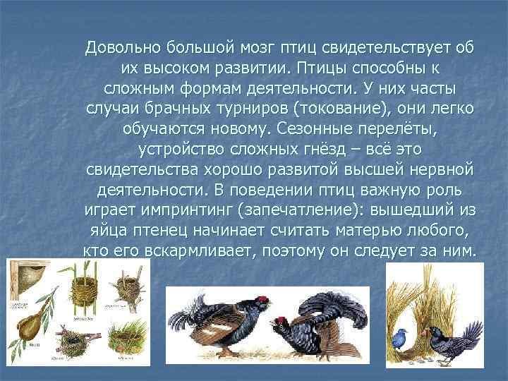 Довольно большой мозг птиц свидетельствует об их высоком развитии. Птицы способны к  сложным