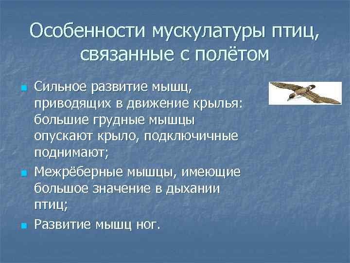 Особенности мускулатуры птиц,  связанные с полётом n  Сильное развитие мышц,