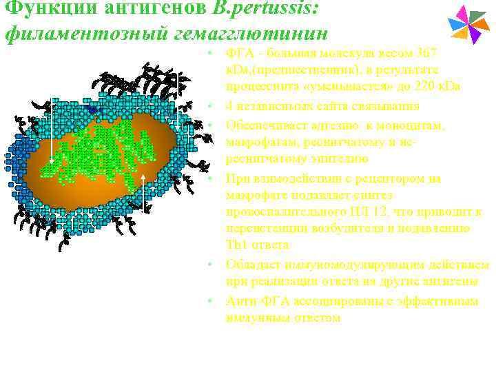 Функции антигенов В. pertussis:    Paediatric Vaccines филаментозный гемагглютинин