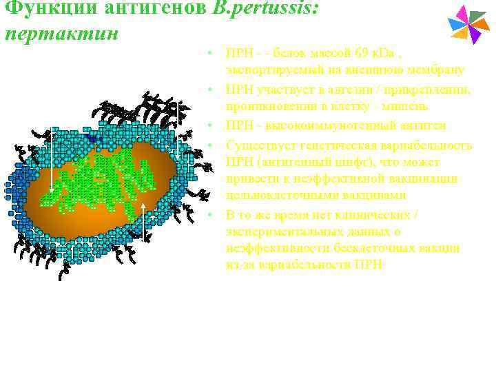 Функции антигенов В. pertussis:    Paediatric Vaccines пертактин    •