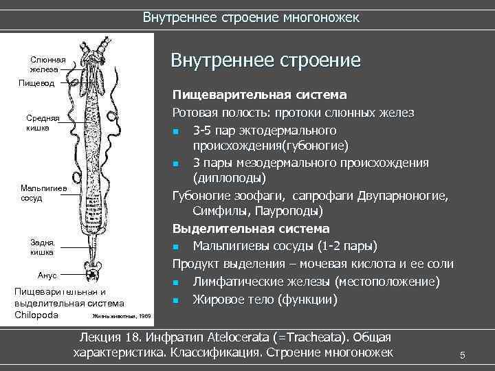 Внутреннее строение многоножек Слюнная  железа