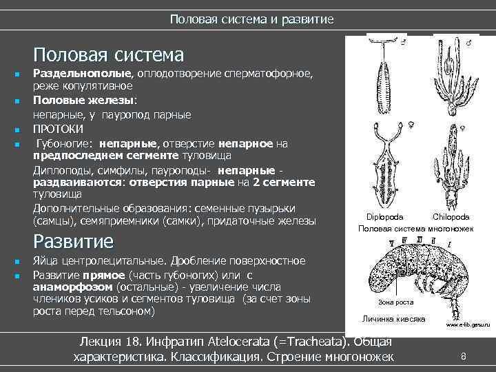 Половая система и развитие  Половая система n