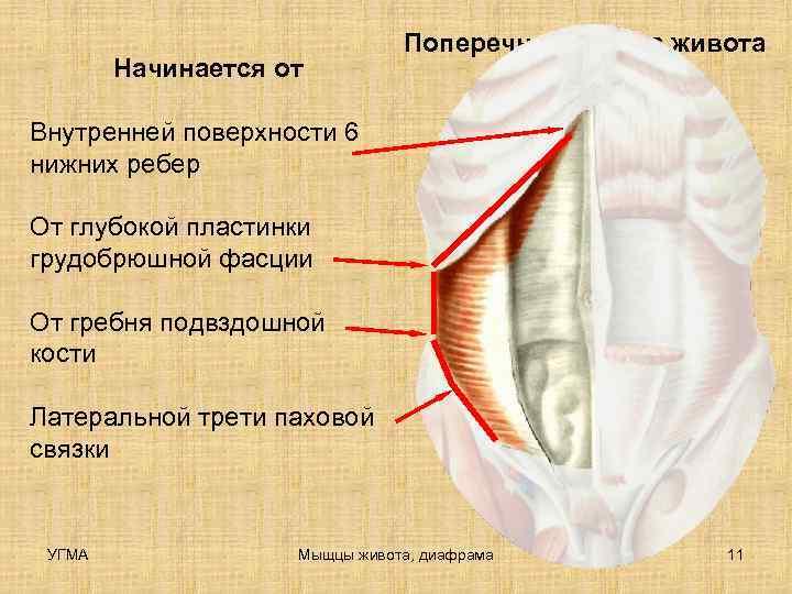 Поперечная мышца живота   Начинается от Внутренней