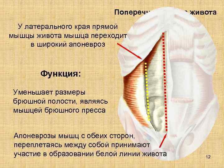 Поперечная мышца живота  У латерального края прямой