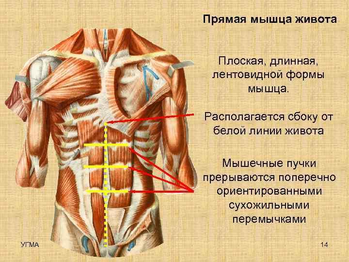 Прямая мышца живота  Плоская, длинная,   лентовидной формы