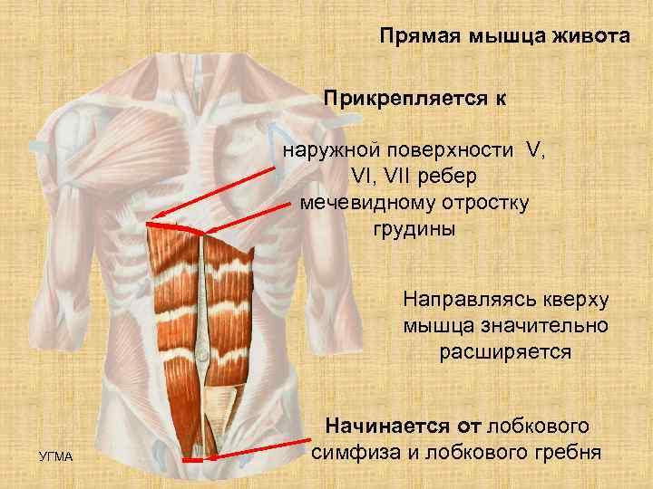 Прямая мышца живота  Прикрепляется к   наружной поверхности