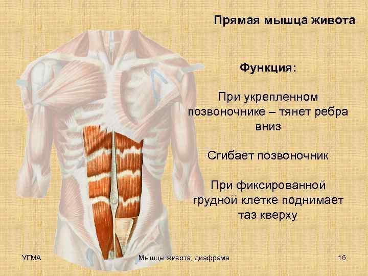 Прямая мышца живота      Функция: