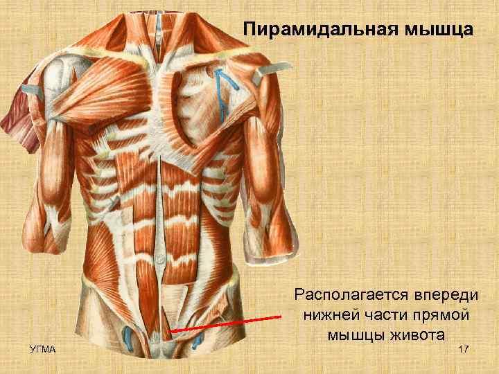 Пирамидальная мышца    Располагается впереди   нижней части прямой
