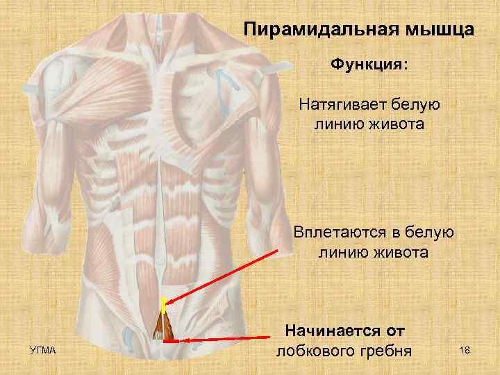 Пирамидальная мышца    Функция:   Натягивает белую