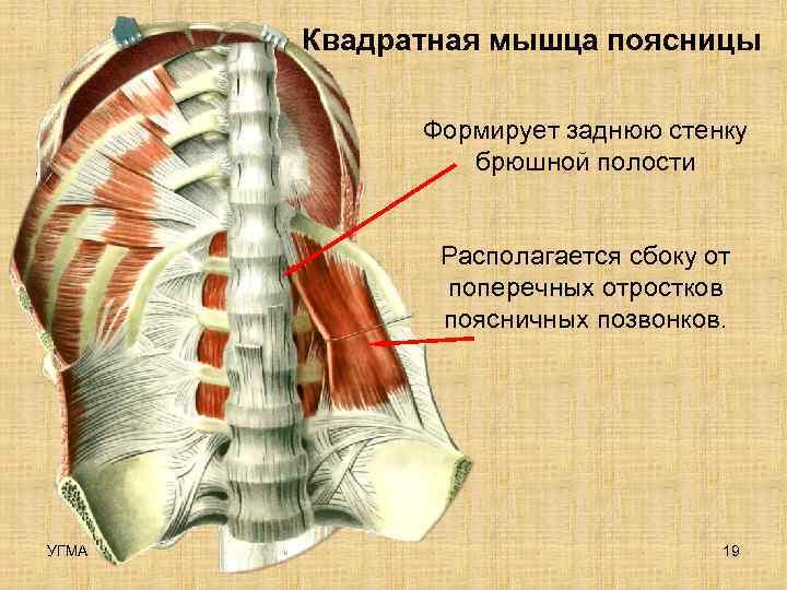 Квадратная мышца поясницы    Формирует заднюю стенку   брюшной