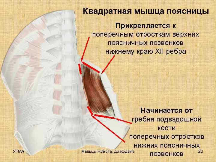 Квадратная мышца поясницы   Прикрепляется к  поперечным отросткам верхних