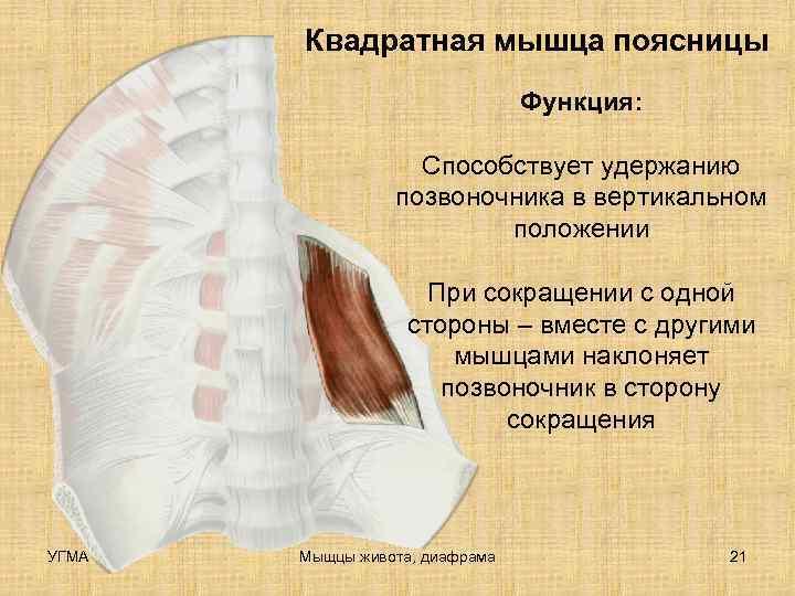 Квадратная мышца поясницы       Функция: