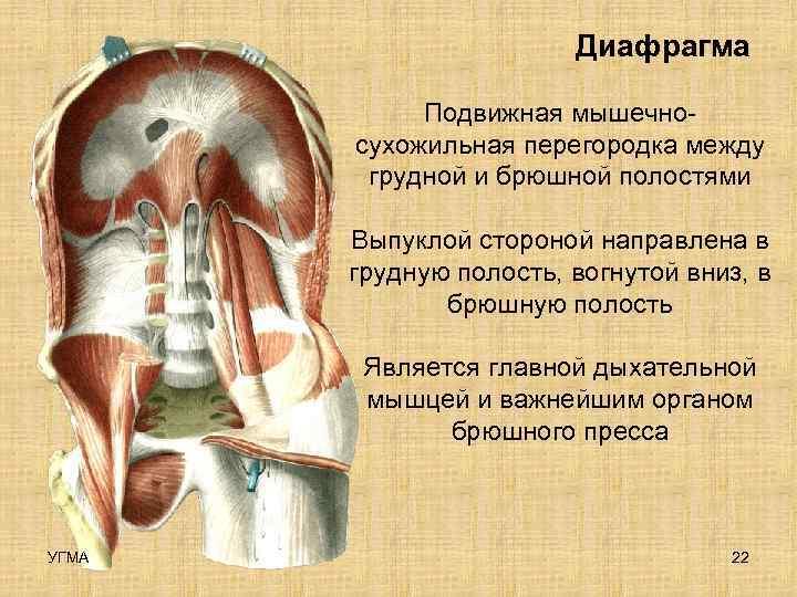 Диафрагма   Подвижная мышечно-  сухожильная перегородка между