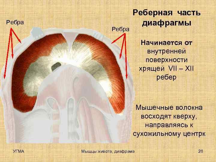 Реберная часть Ребра     диафрагмы