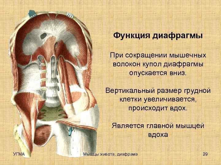 Функция диафрагмы    При сокращении мышечных