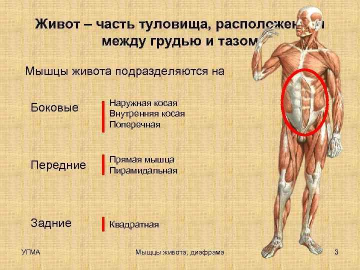 Живот – часть туловища, расположенная  между грудью и тазом Мышцы живота подразделяются