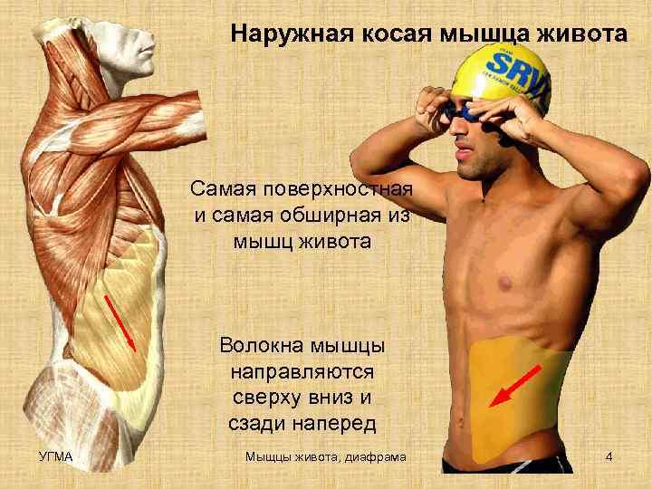 Наружная косая мышца живота  Самая поверхностная  и самая обширная