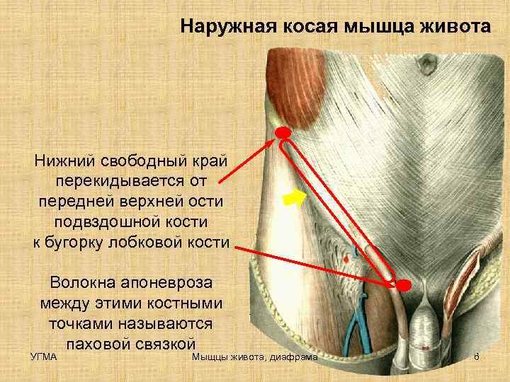 Наружная косая мышца живота Нижний свободный край  перекидывается от передней