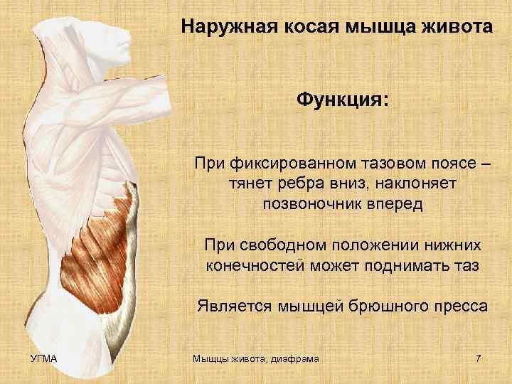 Наружная косая мышца живота     Функция:  При фиксированном