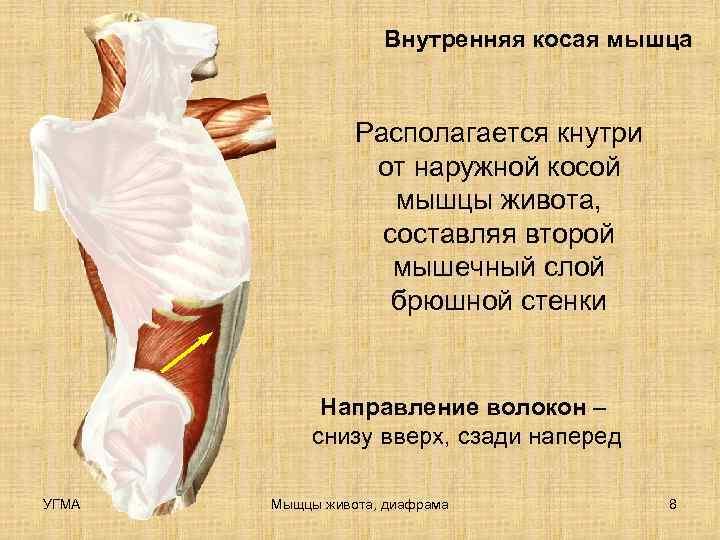 Внутренняя косая мышца    Располагается кнутри