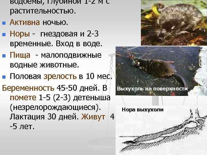 водоемы, глубиной 1 -2 м с  растительностью. n Активна ночью.  n