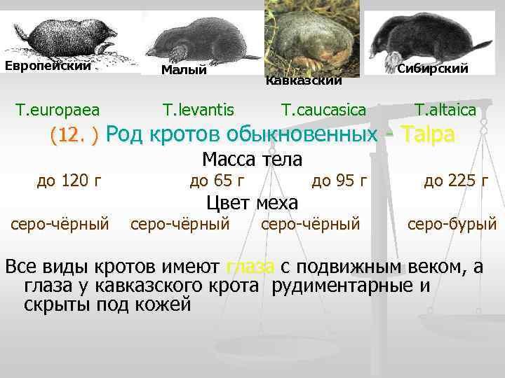 Европейский  Малый    Сибирский      Кавказский
