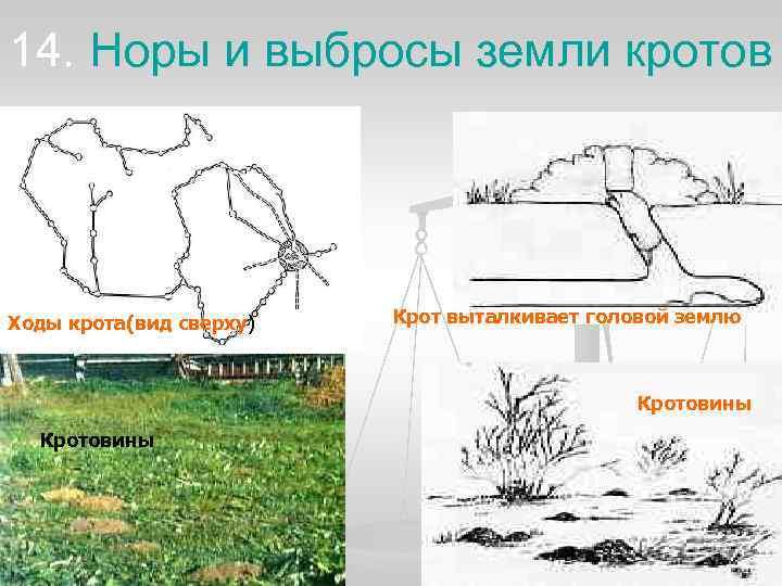 14. Норы и выбросы земли кротов Ходы крота(вид сверху)  Крот выталкивает головой землю