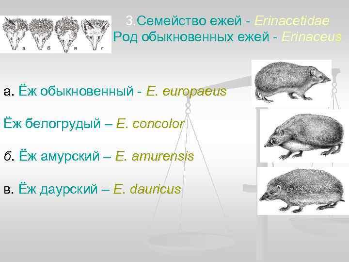 3. Семейство ежей - Erinacetidae   Род обыкновенных ежей -