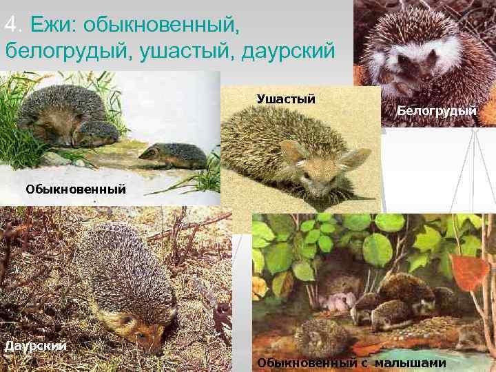 4. Ежи: обыкновенный, белогрудый, ушастый, даурский    Ушастый    Белогрудый