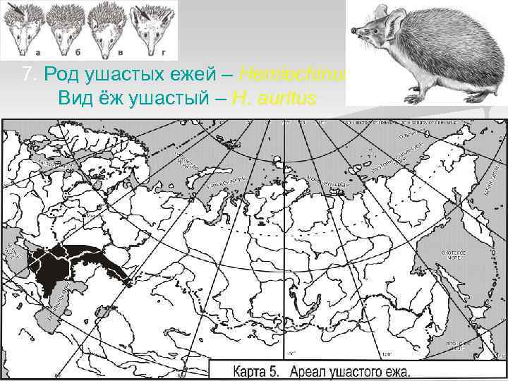 7. Род ушастых ежей – Hemiechinus Вид ёж ушастый – H. auritus