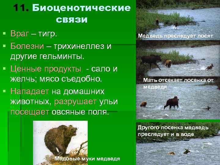 11. Биоценотические  связи § Враг – тигр.