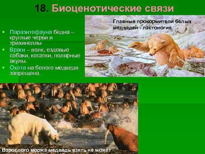 18. Биоценотические связи       Главные прокормители белых