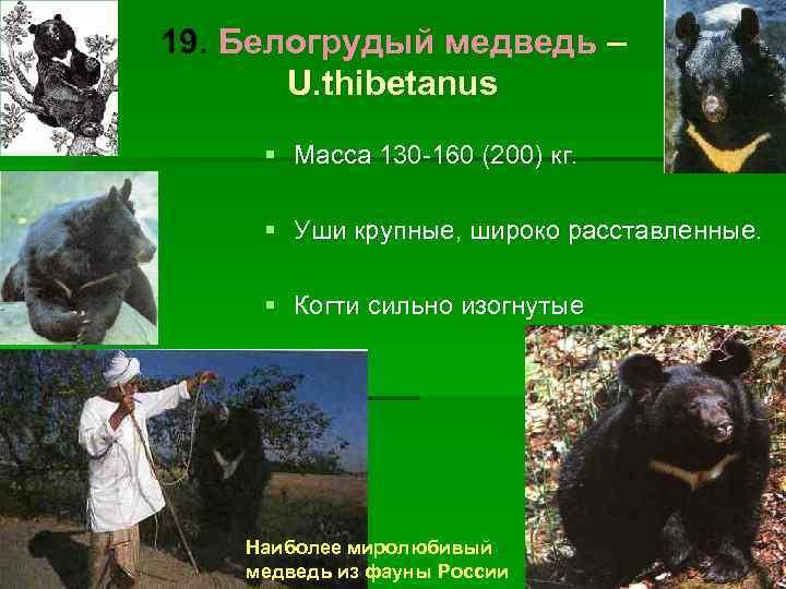 19. Белогрудый медведь –  U. thibetanus § Масса 130 -160 (200) кг.