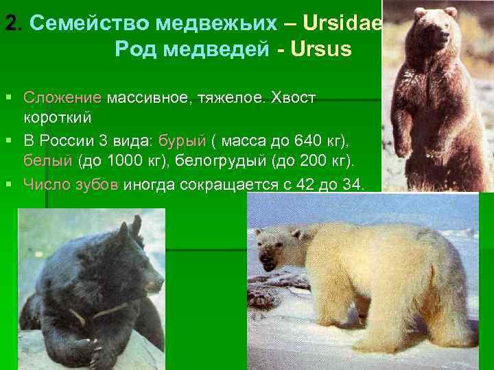 2. Семейство медвежьих – Ursidae   Род медведей - Ursus § Сложение массивное,