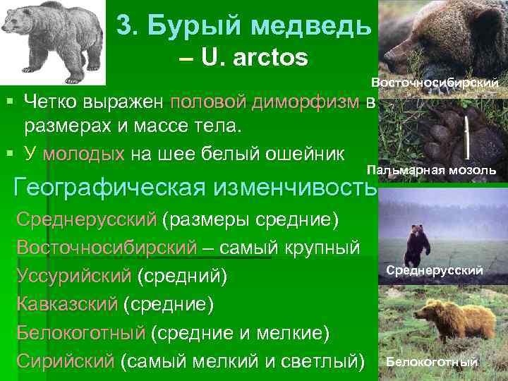 3. Бурый медведь   – U. arctos