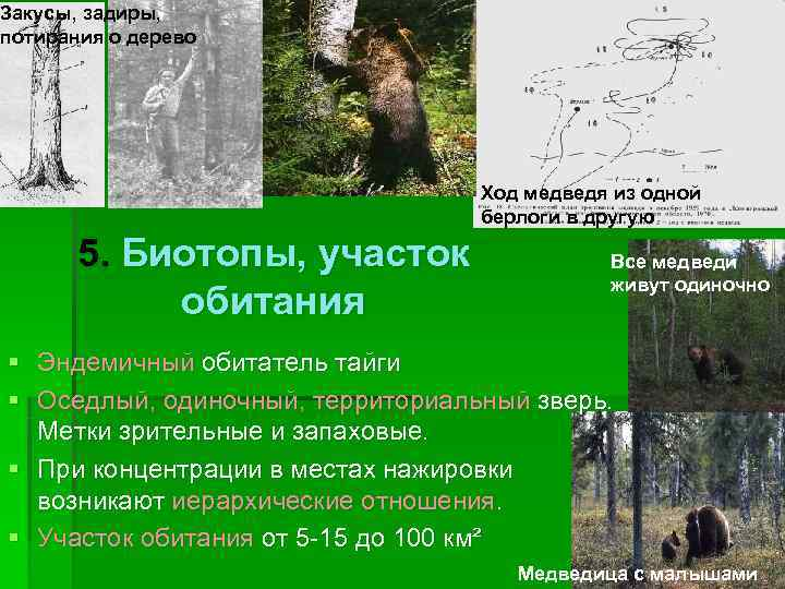Закусы, задиры, потирания о дерево    Ход медведя из одной