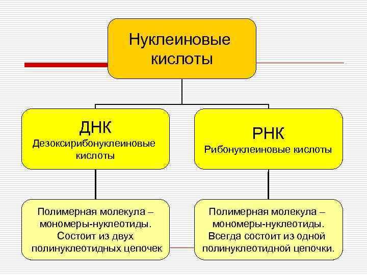 Нуклеиновые     кислоты   ДНК