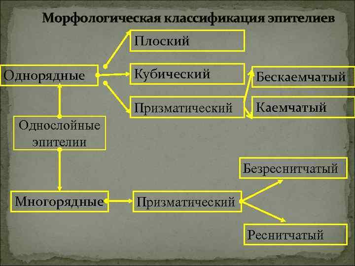 Морфологическая классификация эпителиев   Плоский Однорядные Кубический  Бескаемчатый