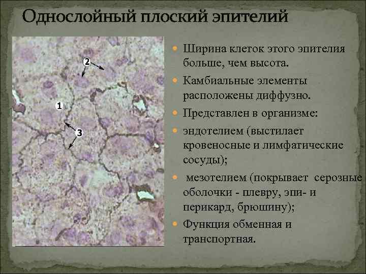 Однослойный плоский эпителий   Ширина клеток этого эпителия     больше,