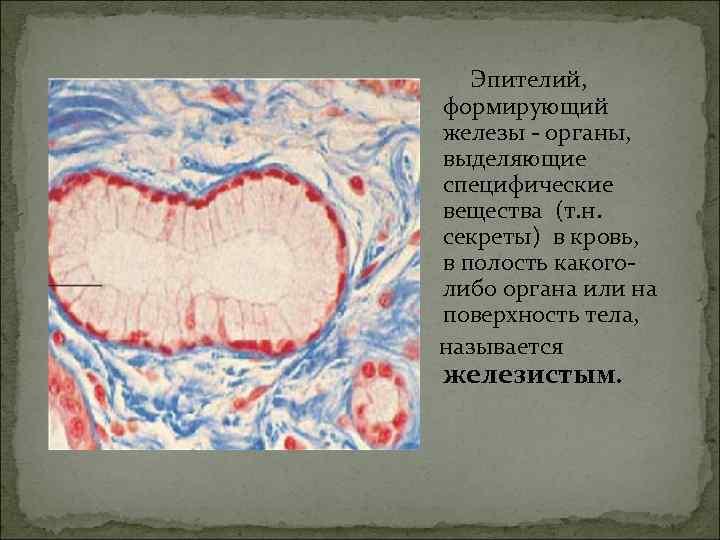 Эпителий, формирующий железы - органы, выделяющие специфические вещества (т. н. секреты) в