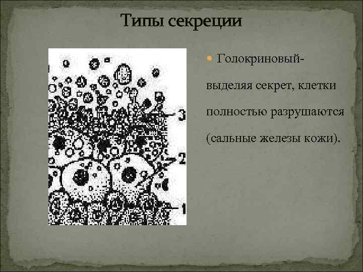 Типы секреции  Голокриновый-  выделяя секрет, клетки  полностью разрушаются  (сальные железы