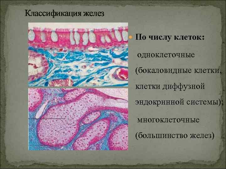 Классификация желез     По числу клеток:     одноклеточные