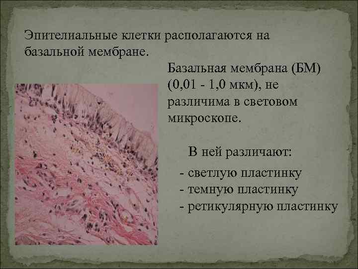 Эпителиальные клетки располагаются на базальной мембране.     Базальная мембрана (БМ)