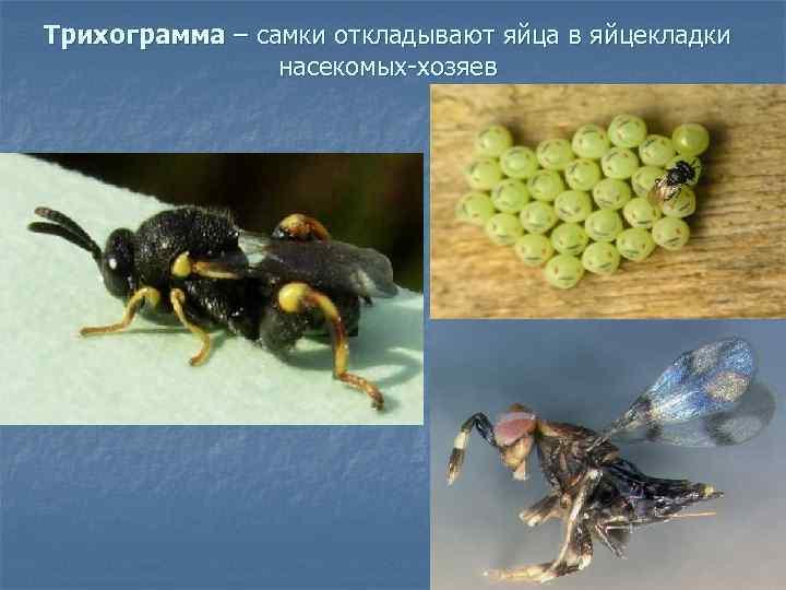 Трихограмма – самки откладывают яйца в яйцекладки   насекомых-хозяев