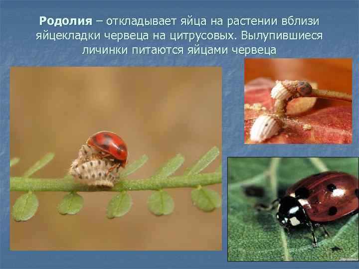 Родолия – откладывает яйца на растении вблизи яйцекладки червеца на цитрусовых. Вылупившиеся