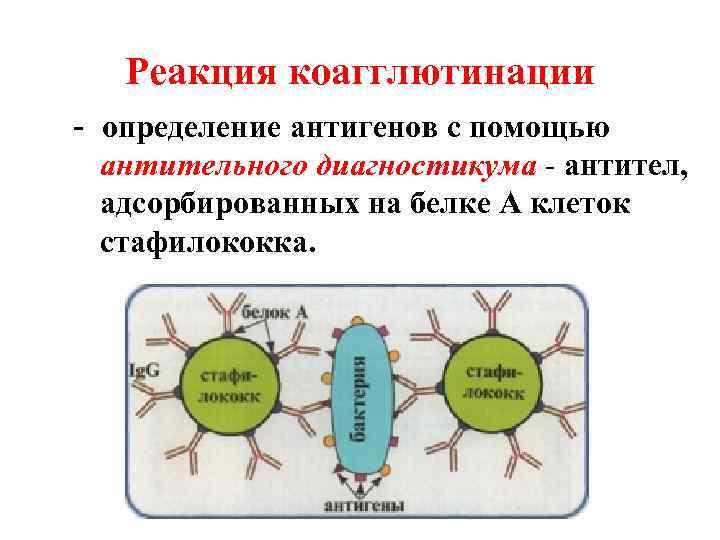 Реакция коагглютинации - определение антигенов с помощью  антительного диагностикума - антител,