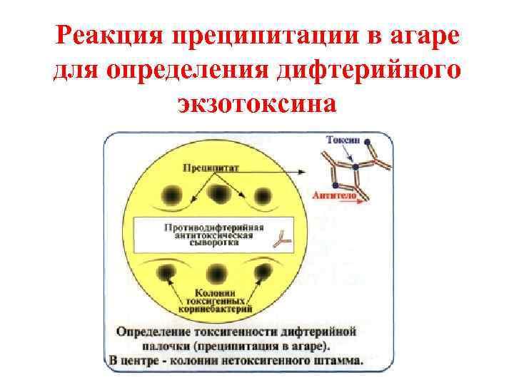 Реакция преципитации в агаре для определения дифтерийного   экзотоксина