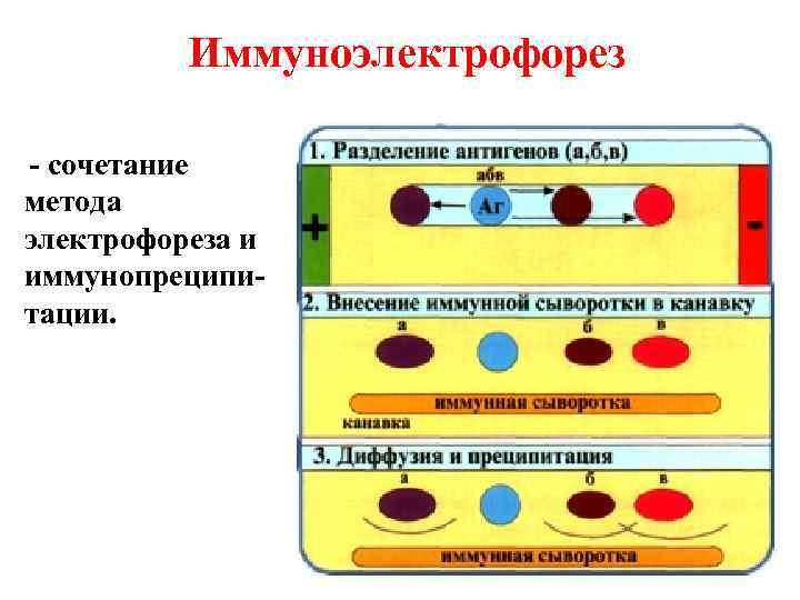Иммуноэлектрофорез - сочетание метода электрофореза и иммунопреципи- тации.