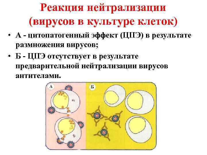 Реакция нейтрализации (вирусов в культуре клеток) • А - цитопатогенный эффект (ЦПЭ)