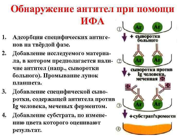 Обнаружение антител при помощи    ИФА 1. Адсорбция специфических антиге-